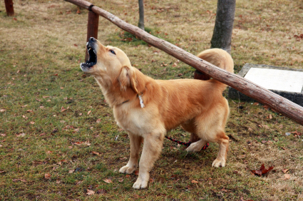 Golden-Retriever-Barking