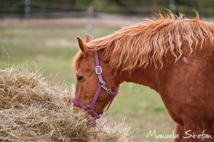 Horse-eating-hay-011